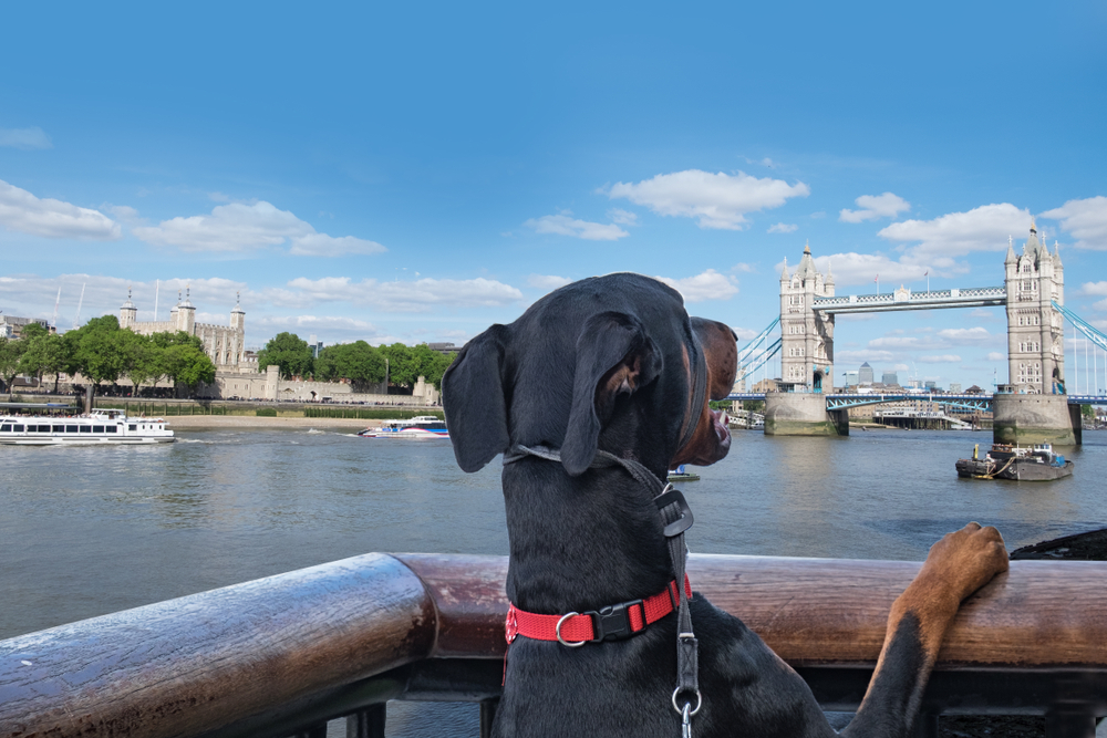 Dog at Tower Bridge